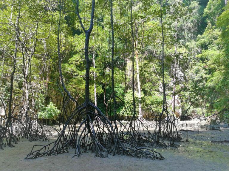 Panak-Island-Mangrove-forest-Thailand