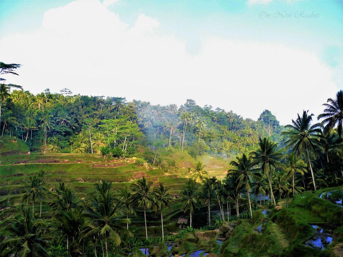 Rice-fields-Bali